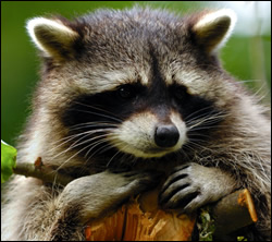 raccoon control Briarcliff Manor